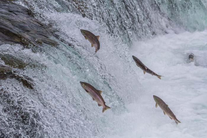 salmon-mundi-el-salmon-contracorriente